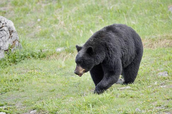 Amerikanischer Schwarzbär (Ursus americanus) / ch163310
