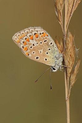 Hauhechel-Bläuling (Polyommatus icarus) / ch081225