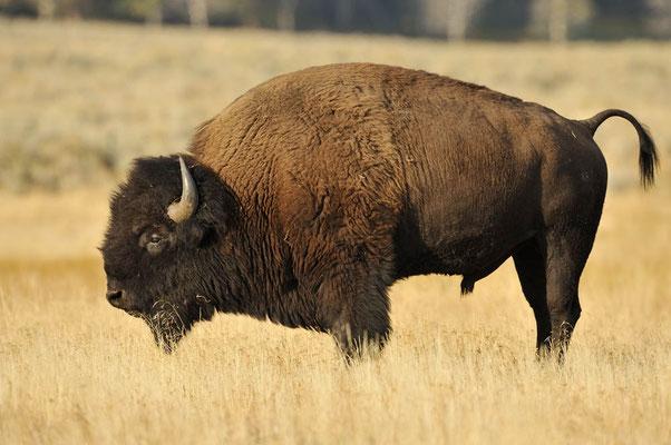 Amerikanischer Bison (Bos bison, Bison bison) / ch057943
