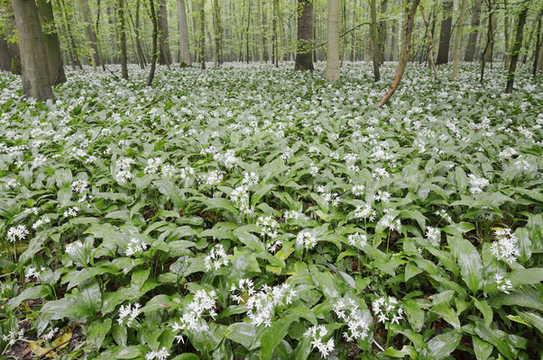 Bärlauch (Allium ursinum) im Laubwald, Nordrhein-Westfalen / ch144301