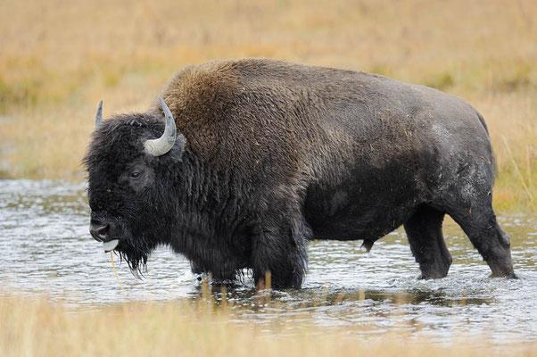 Amerikanischer Bison (Bison bison) / ch057560