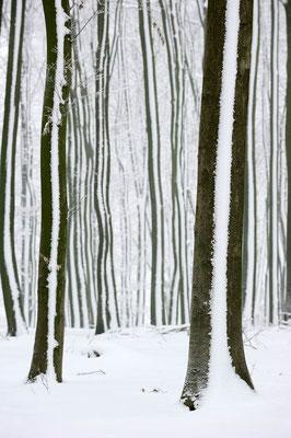 Rotbuchen (Fagus sylvatica) im Winter, Nordrhein-Westfalen / ch103907