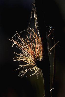 Bromelie (Tillandsia spec.) / ch023588