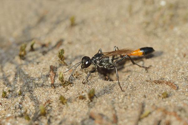 Gemeine Sandwespe (Ammophila sabulosa) / ch168589