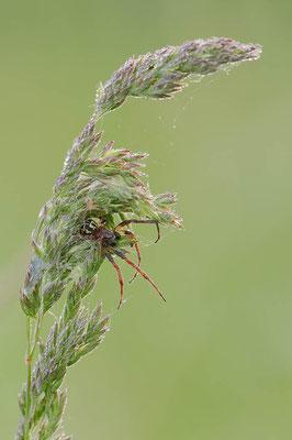 Schilfradspinne (Larinioides cornutus) / ch089082