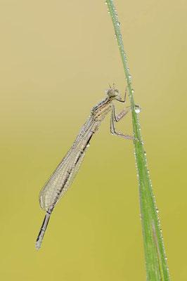 Blaue Federlibelle (Platycnemis pennipes) / ch116631