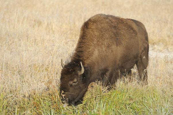 Amerikanischer Bison (Bos bison, Bison bison) / ch057778