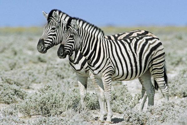 Burchell-Zebra (Equus quagga burchelli) / chs05105