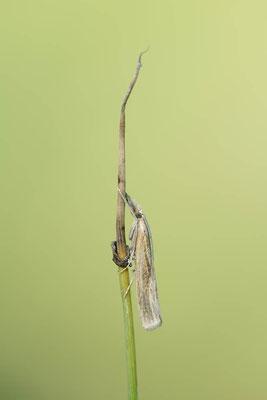 Unscheinbarer Graszünsler (Agriphila straminella) / ch138413