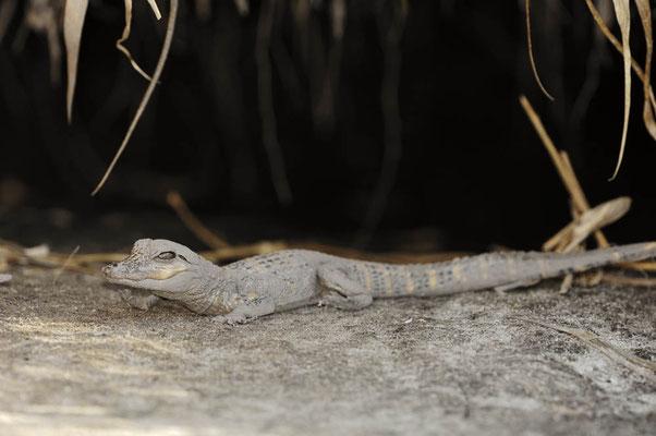 Mississippi-Alligator (Alligator mississippiensis) / ch023306