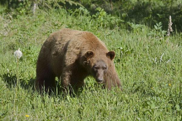 Zimtfarbener Amerikanischer Schwarzbär (Ursus americanus) / ch163097