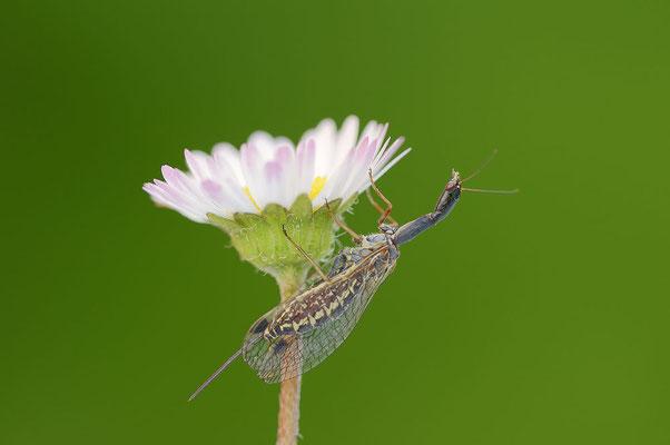 Kamelhalsfliege (Ornatoraphidia flavilabris) / ch109081