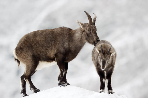 Alpensteinbock (Capra ibex) / ch104434
