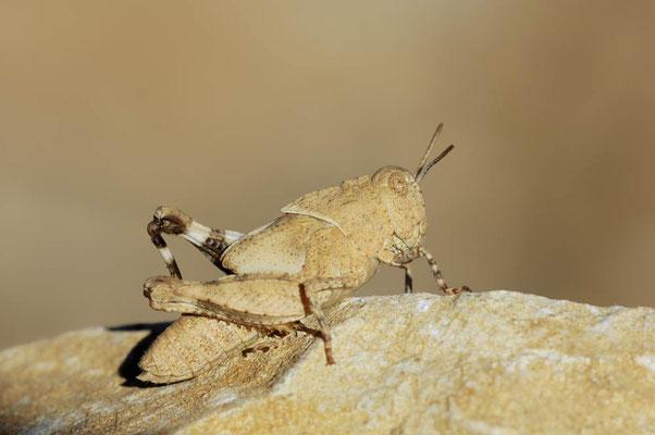 Gesägte Steinschrecke (Prionotropis hystrix azami) / ch010745