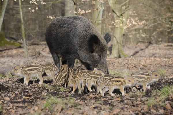 Europäisches Wildschwein (Sus scrofa scrofa) / ch142026
