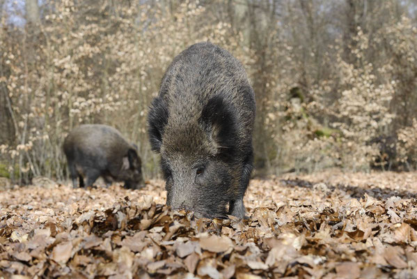 Europäisches Wildschwein (Sus scrofa scrofa) / ch142124