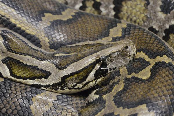 Dunkler Tigerpython oder Burma-Python (Python molurus bivittatus, Python bivittatus)  / ch166901