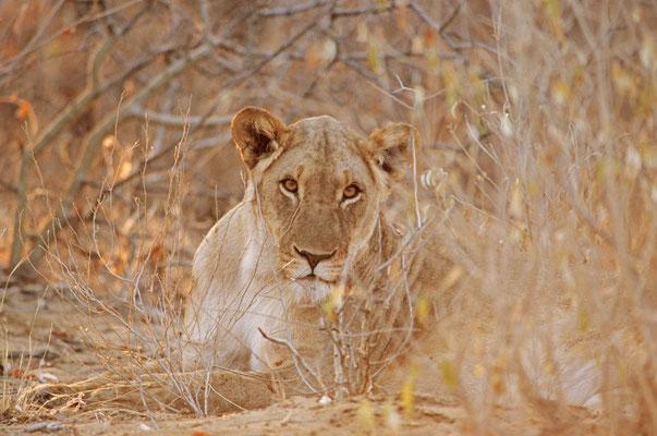 Löwe (Panthera leo) / chs05224