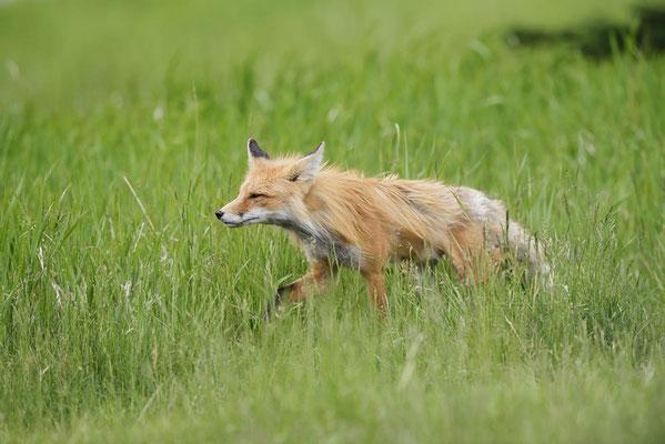 Rotfuchs (Vulpes vulpes) / ch163074