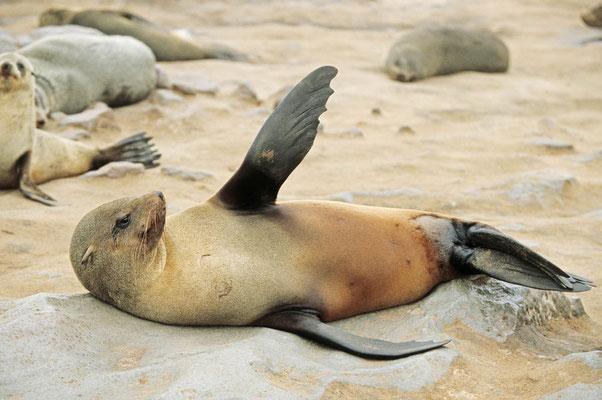 Südafrikanischer Seebär (Arctocephalus pusillus pusillus) / chs05198