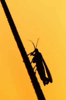 Gemeine Skorpionsfliege (Panorpa communis) / ch077657