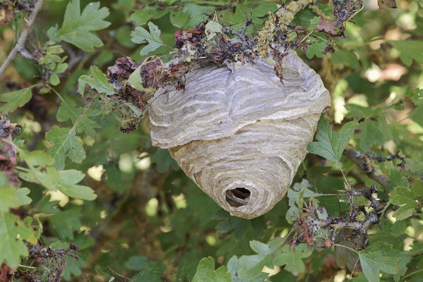 Mittlere Wespe, Nest (Dolichovespula media) / ch190720