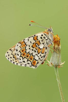 Wegerich-Scheckenfalter (Melitaea cinxia) / ch109305