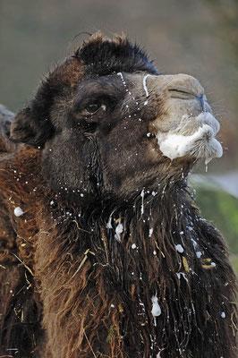 Trampeltier (Camelus bactrianus) / ch046876