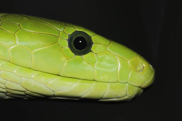 Gewöhnliche Mamba oder Blattgrüne Mamba (Dendroaspis angusticeps) / ch015392