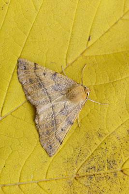 Federfühler-Herbstspanner (Colotois pennaria) / ch134996