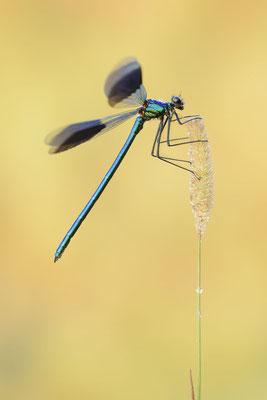 Gebänderte Prachtlibelle (Calopteryx splendens) / ch190938