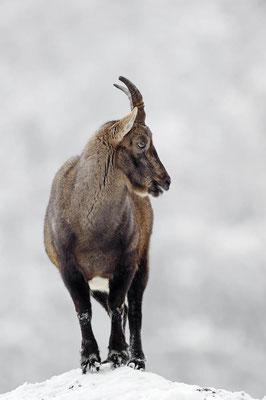 Alpensteinbock (Capra ibex) / ch104449