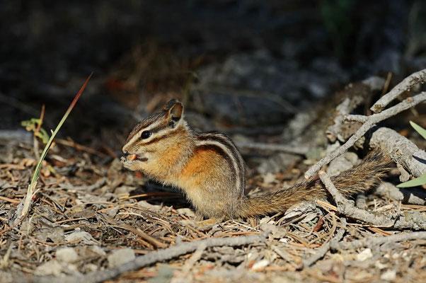 Kleines Streifenhörnchen (Tamias minimus, Neotamias minimus) /ch057446