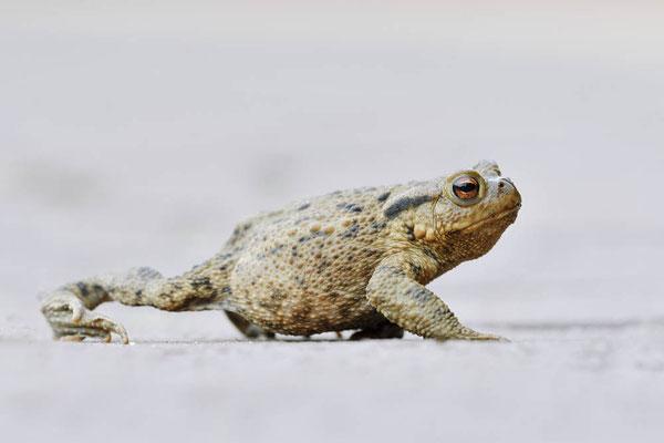 Erdkröte (Bufo bufo) / ch174569
