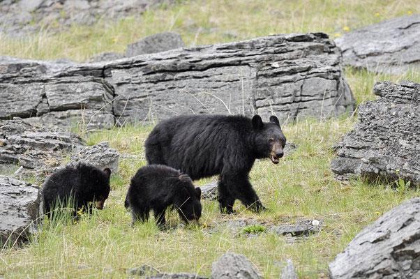 Amerikanischer Schwarzbär (Ursus americanus) / ch163356