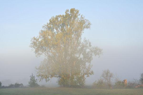 Kanada-Pappel (Populus x canadensis, Populus x euramericana), Nordrhein-Westfalen / ch184992