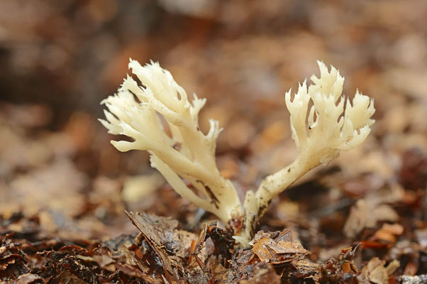 Kammförmige Koralle (Clavulina coralloides) / ch102031