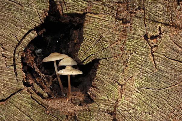 Rosablättriger Helmling (Mycena galericulata) / ch044108