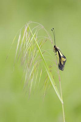 Libellen-Schmetterlingshaft (Libelloides coccajus) / ch091137