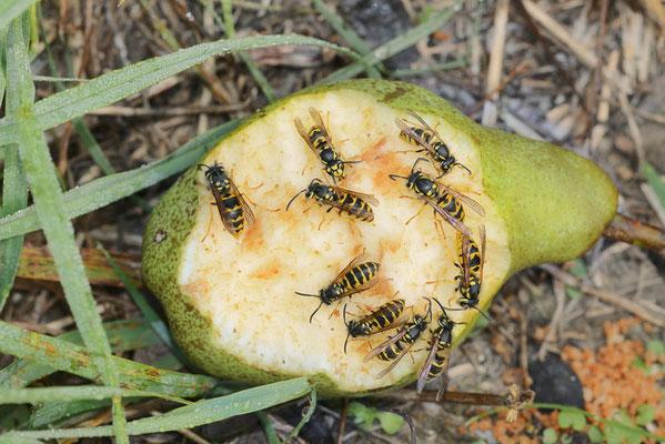 Gemeine Wespe (Vespula vulgaris) / ch196705
