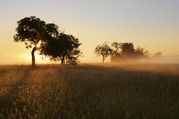 Obstbäume bei Sonnenaufgang, Nordrhein-Westfalen / chhd0053