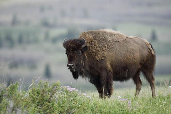Amerikanischer Bison (Bison bison) / ch160030