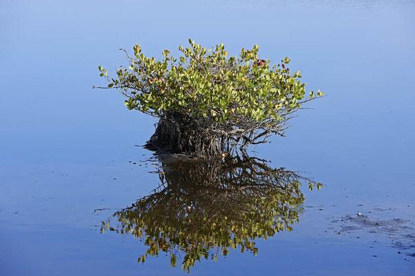 Rote Mangrove (Rhizophora mangle) / ch069824