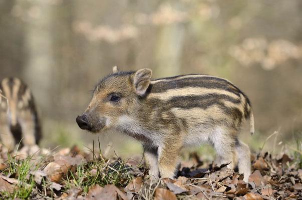 Europäisches Wildschwein (Sus scrofa scrofa) / ch142020