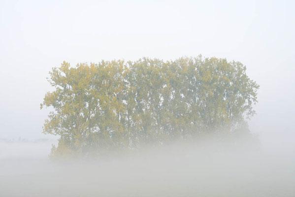 Kanada-Pappeln (Populus x canadensis, Populus x euramericana) im Nebel, Nordrhein-Westfalen / ch196791