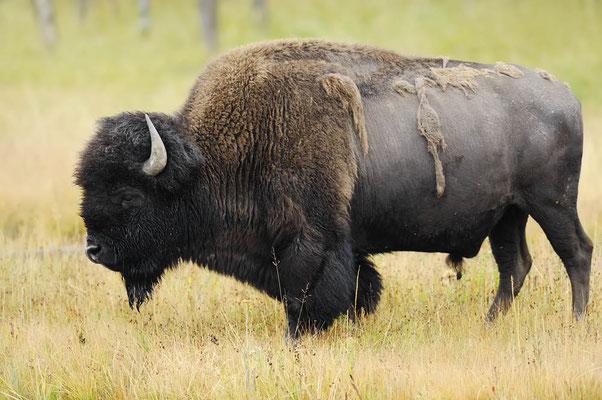 Amerikanischer Bison (Bison bison) / ch057563