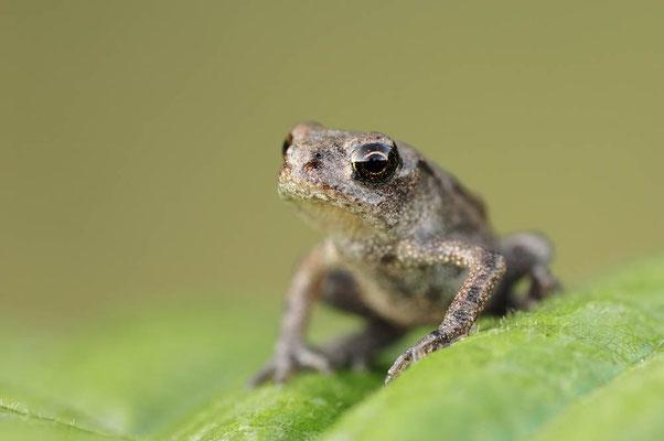 Grasfrosch (Rana temporaria) / ch014081