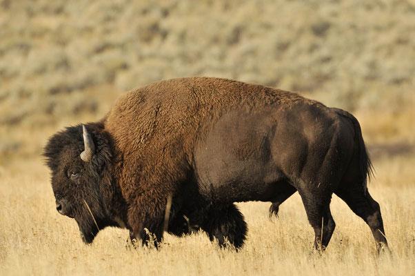 Amerikanischer Bison (Bison bison) / ch057951