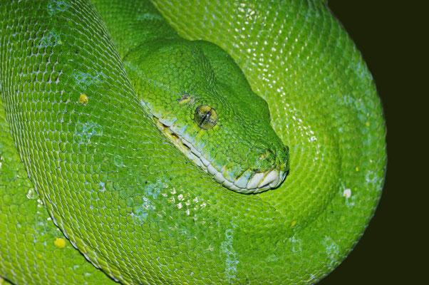 Grüner Baumpython (Chondropython viridis, Morelia viridis) / ch026696