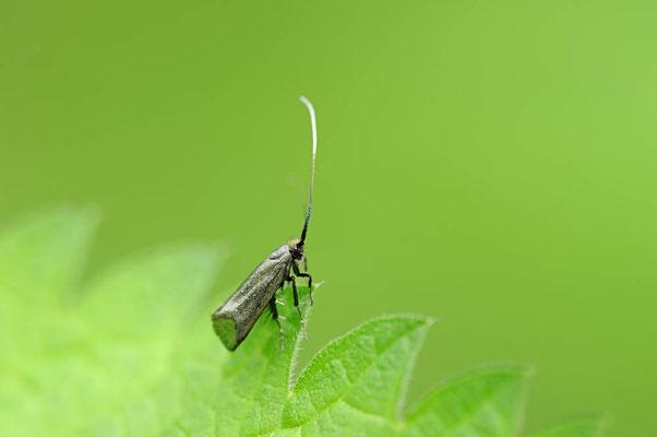 Grüner Langfühler (Adela reaumurella) / ch088423